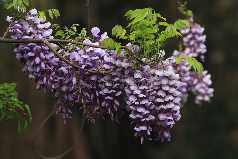 Wisteria sinensis Sweet. Shot at a park royalty free stock photo