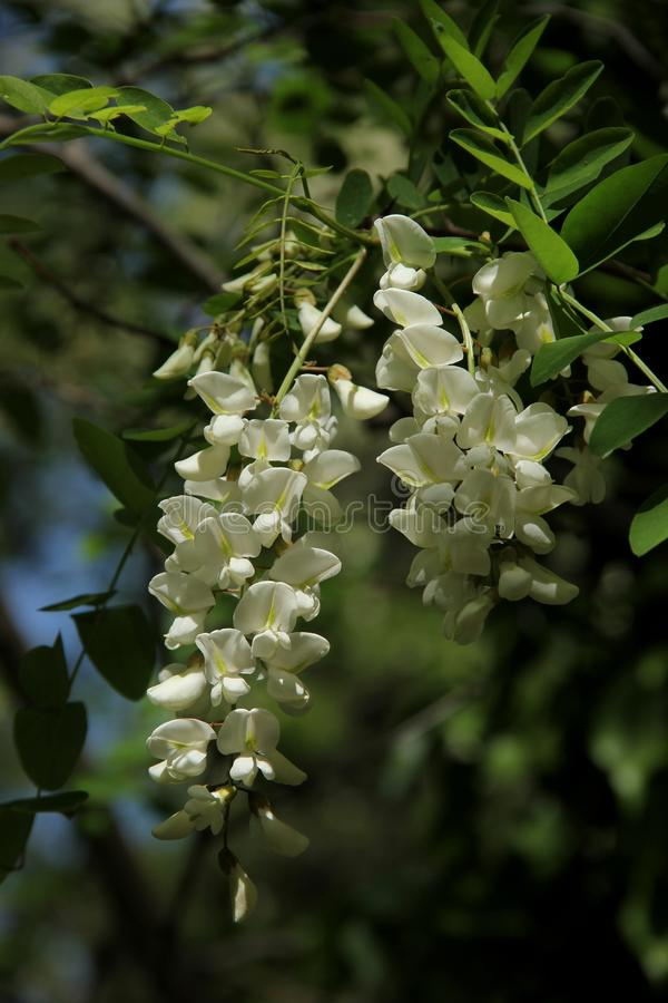 Wisteria sinensis. The white blossoms of the Wisteria sinensis `alba` blooming in the city of Kusadasi, Turkey stock images