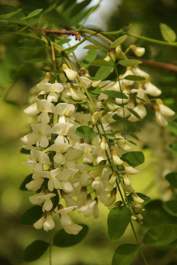 Wisteria sinensis. The white blossoms of the Wisteria sinensis `alba` blooming in a garden in Kusadasi, Turkey royalty free stock photo