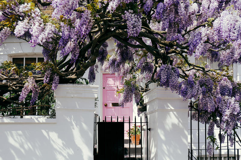 Wisteria Tree. Blossoming wisteria tree covering up a house on a bright sunny day royalty free stock photography