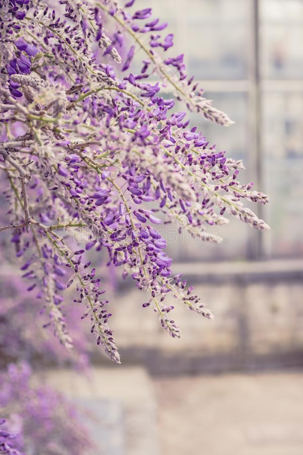 Wisteria tree in botanical garden royalty free stock images
