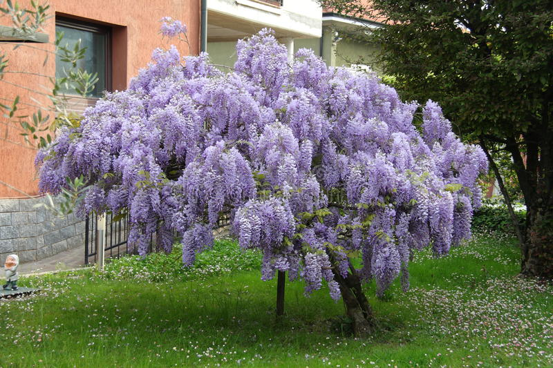 Wisteria tree. In full bloom stock photography