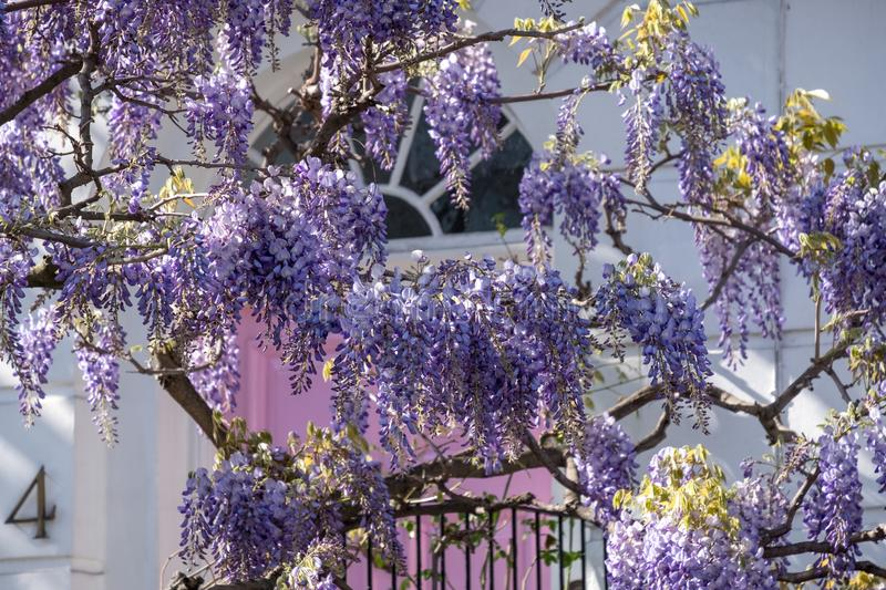 Wisteria tree in full bloom growing outside a white painted house with pink door in London. Close up of wisteria tree in full bloom growing outside a white stock photography