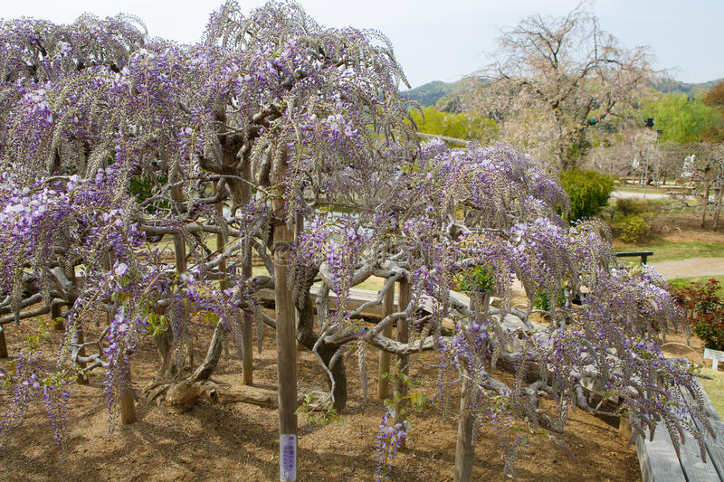 Wisteria tree. Japanese Wisteria tree or called Fuji Flower at Ashikaga Flower Park in Japan stock photo