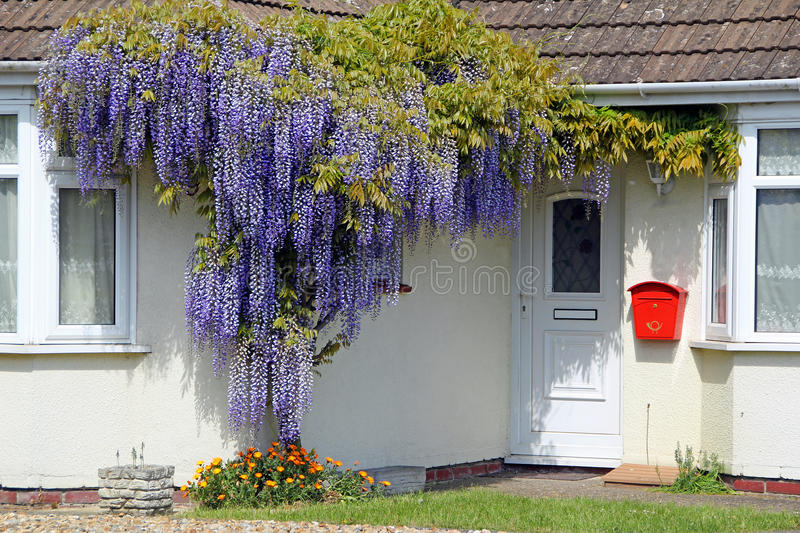 Wisteria tree. Photo of a beautiful wisteria tree growing around a kent cottage taken on 29th april 2017 stock photo