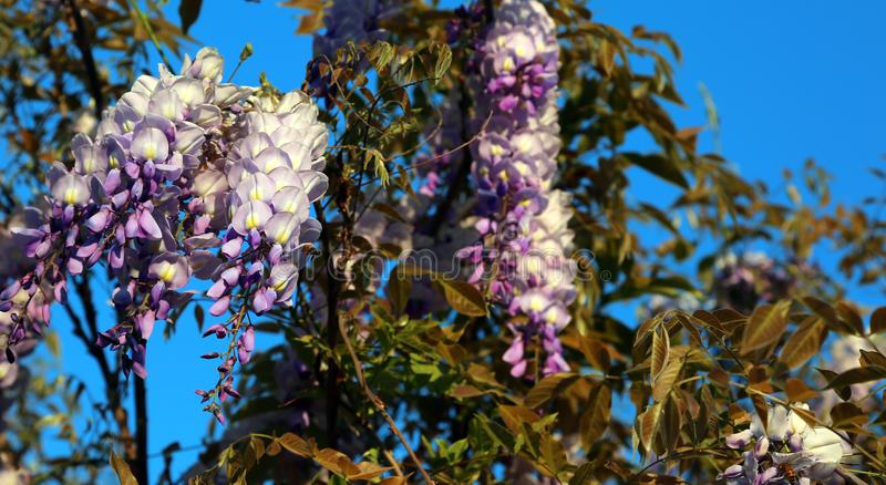 Wisteria tree with white and purple flowers stock image image of download wisteria tree with white and purple flowers stock image image of blooming floral mightylinksfo