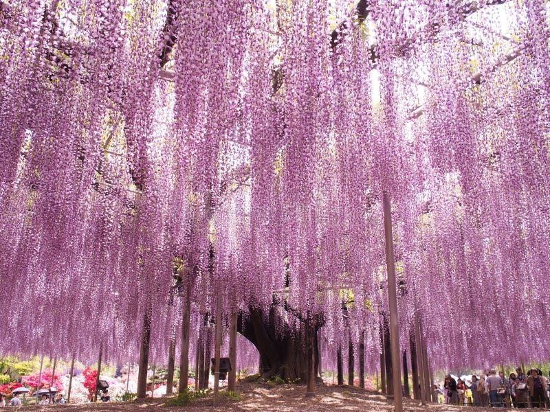 Wisteria Trellis of Ashikaga Flower Park, Tochigi, Japan stock photo