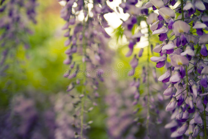 Wisteria trellis. Green leaves border for an angle of page over a white background - wisteria leaf royalty free stock photo