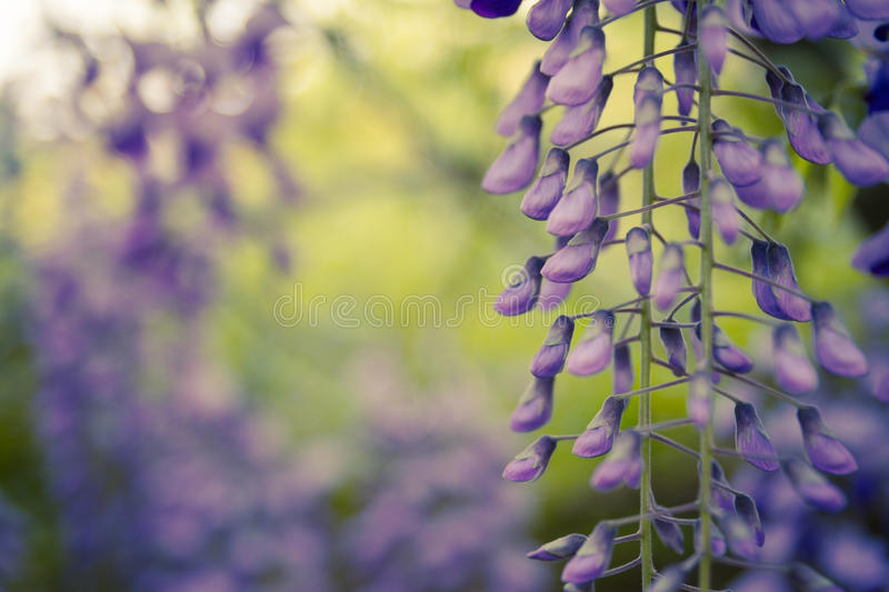 Wisteria trellis. Green leaves border for an angle of page over a white background - wisteria leaf stock photos