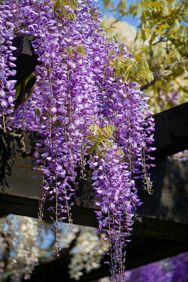 Wisteria vine. Pergola with Wisteria vine violet royalty free stock images