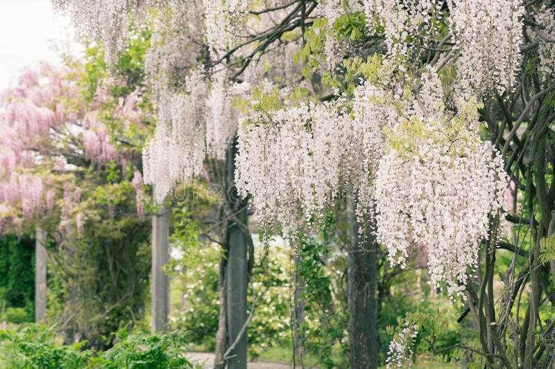 Wisteria. White and pink wisteria growing on a pergola stock images