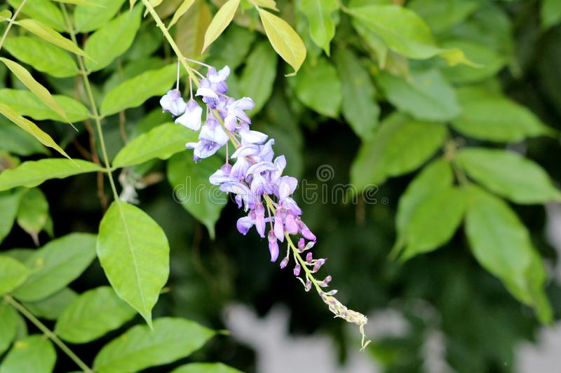 Wisteria woody climbing vine flowering plant with partially open pendulous raceme containing purple to violet petals. Surrounded with light green leaves in stock image
