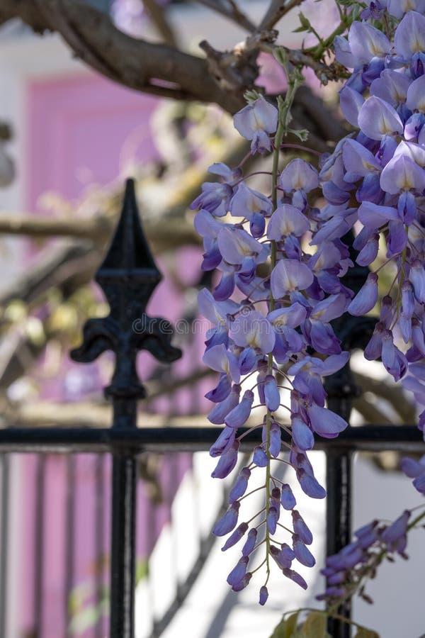 Wisteriaboom in volledige bloei het groeien buiten een wit geschilderd huis met roze deur in Londen stock fotografie