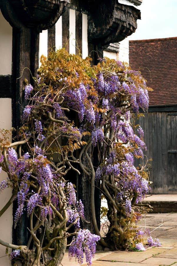 Wisteriaen för den Tudor tvinnar den antika husBlakesley Hall ingången den dekorativa trädblomman UK Birmingham för vinrankan arkivbild