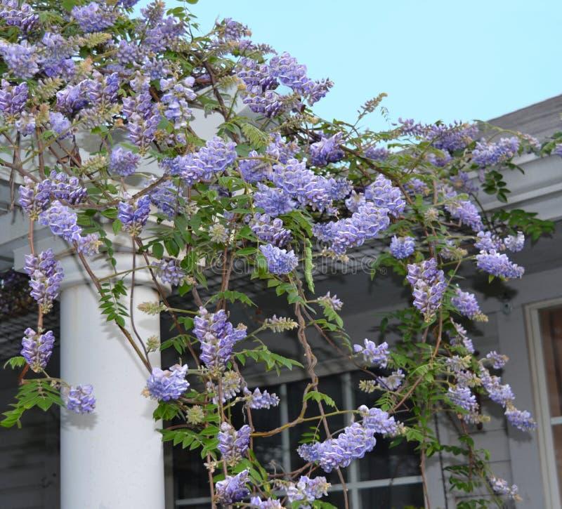 Wisteriafrutescens som blommar på en pergola arkivbild