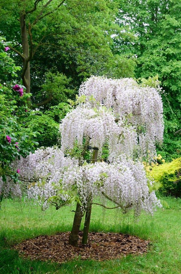 Wisteriaträd royaltyfria foton