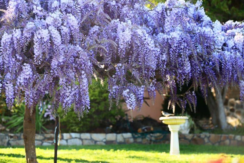 Wisteriaträdgård i vår royaltyfri fotografi