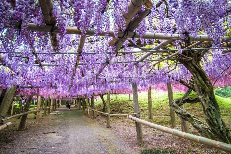 Wisteriatunnel bij de Tuin van Kawachi Fuji royalty-vrije stock foto