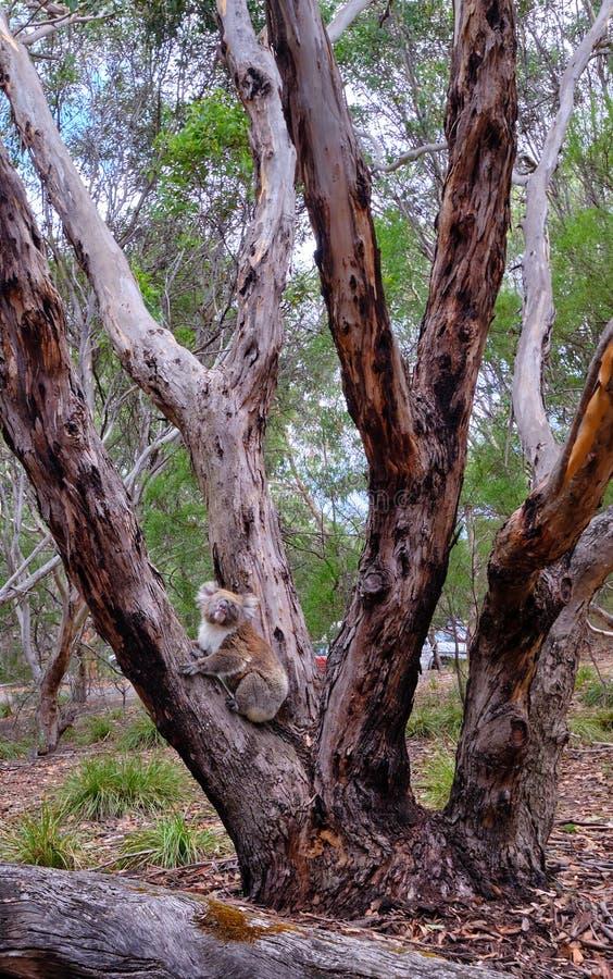 Wistful koala στο δέντρο ευκαλύπτων, εθνικό πάρκο αυλακώματος Flinders, Αυστραλία στοκ φωτογραφίες με δικαίωμα ελεύθερης χρήσης
