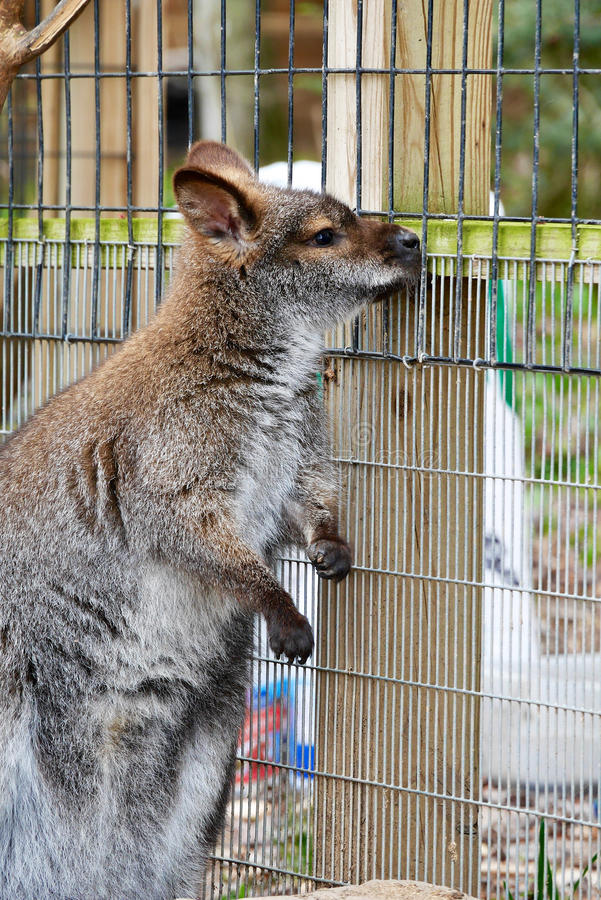 Wistful Wallaby στοκ εικόνα