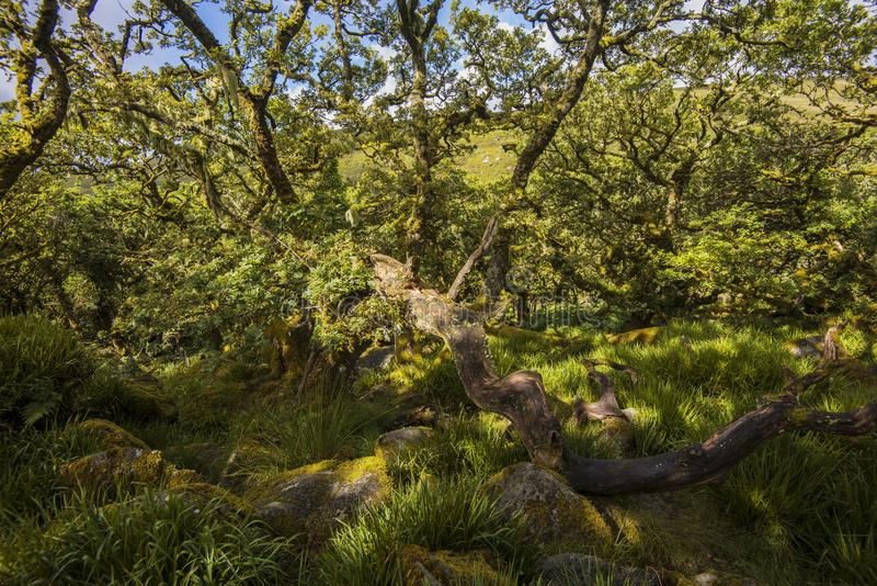 Aspects of Wistman`s Wood - an ancient landscape on Dartmoor, Devon, England. Wistman`s Woof is one of the last vestiges of ancient forest in England. It lies in royalty free stock images