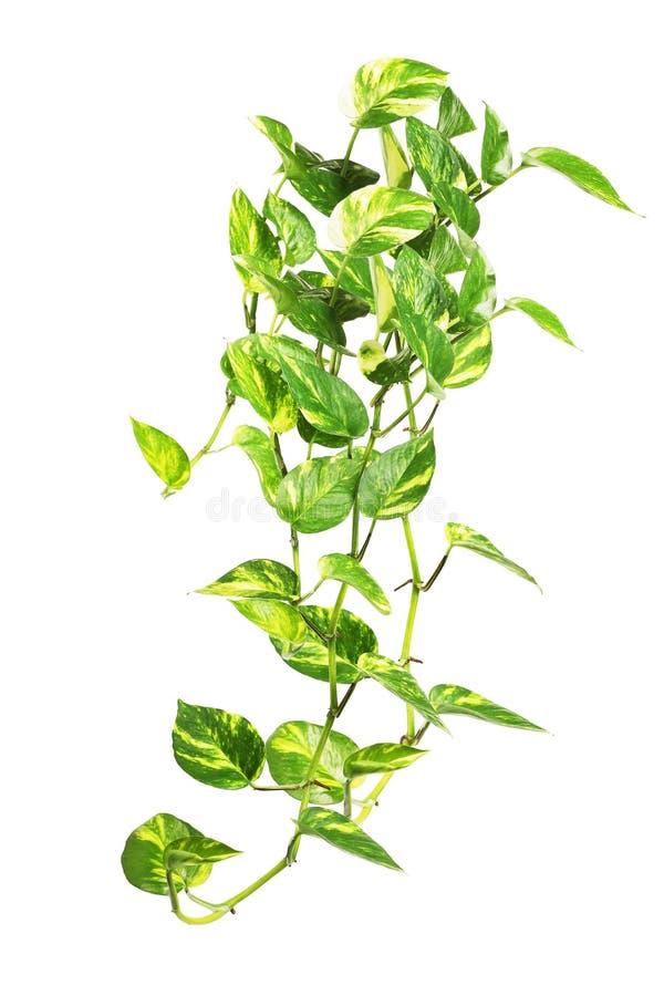 Wisząca pieniądze roślina na bielu obrazy royalty free