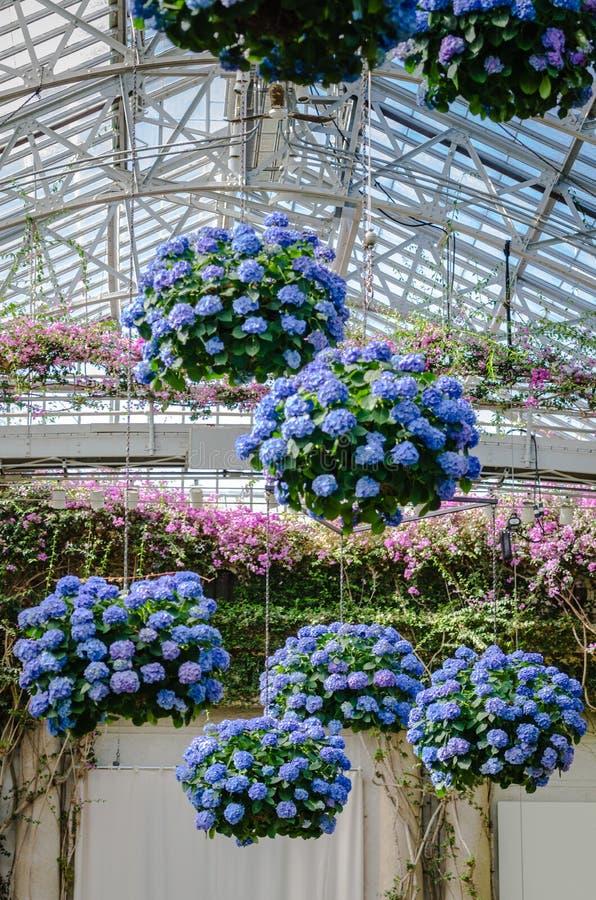 Wiszące hortensje PA - Longwood ogródy - fotografia royalty free