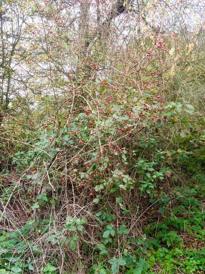 wiszący czerwoni rosehips outside na drzewnej krzak róży zdrowie świeżym natu obraz stock