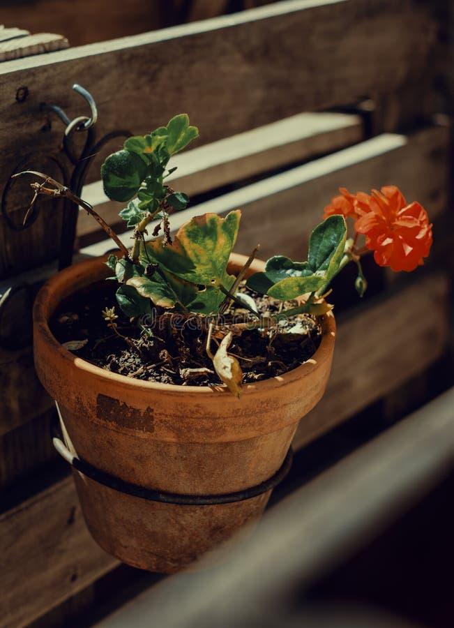 Wiszący kwiatu garnek przy drewnianą strukturą zdjęcie royalty free