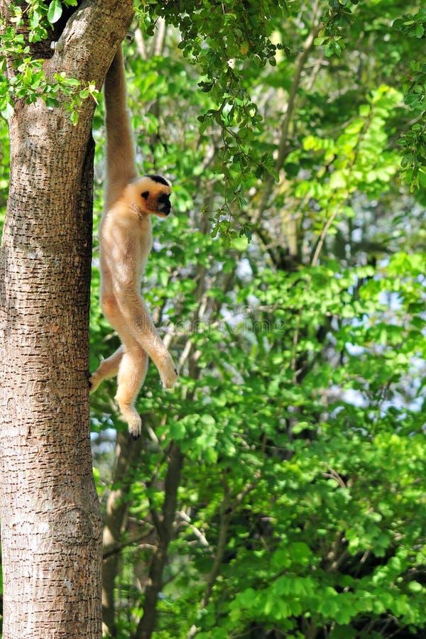 wiszący małpi drzewo zdjęcie royalty free