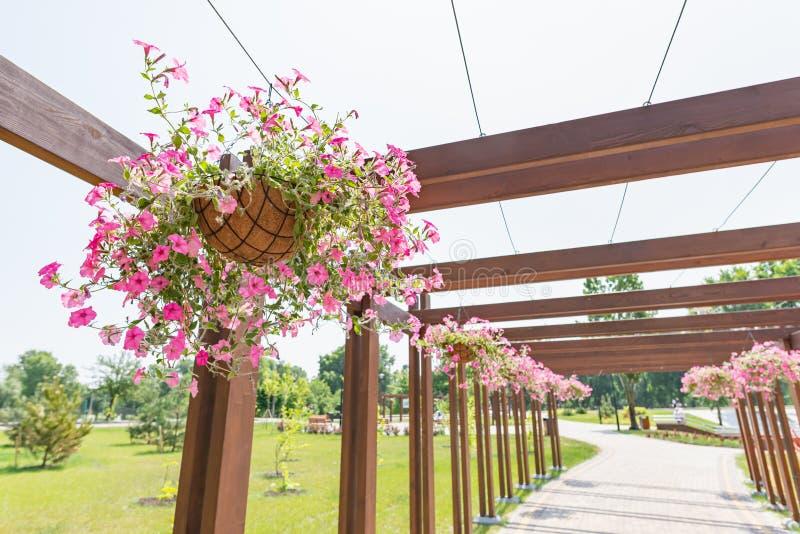 Wiszący ogród różowa petunia wzrastał obraz stock