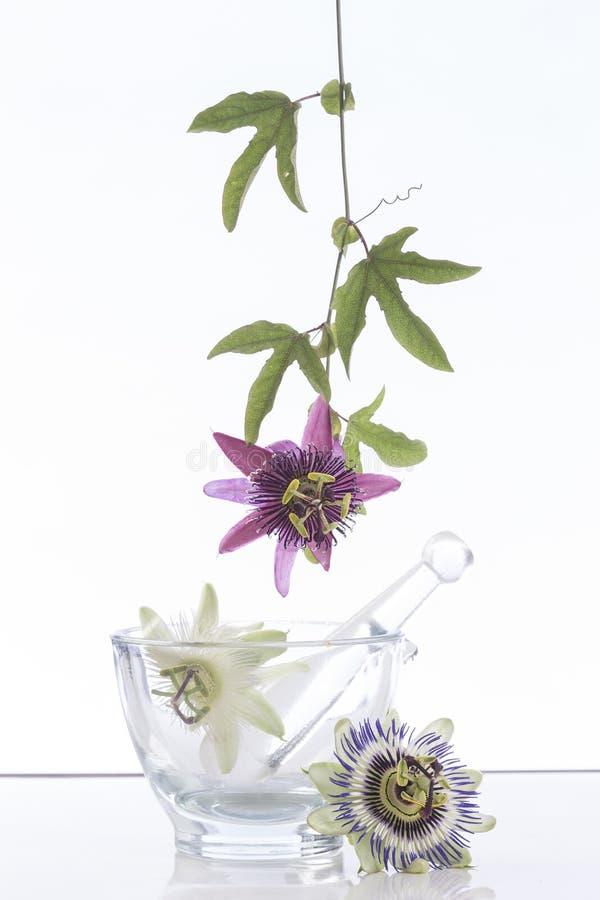 Wiszący Pasyjny kwiat zdjęcie royalty free