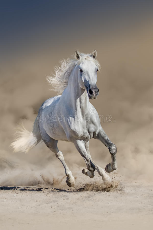 Wit Arabisch paard stock foto
