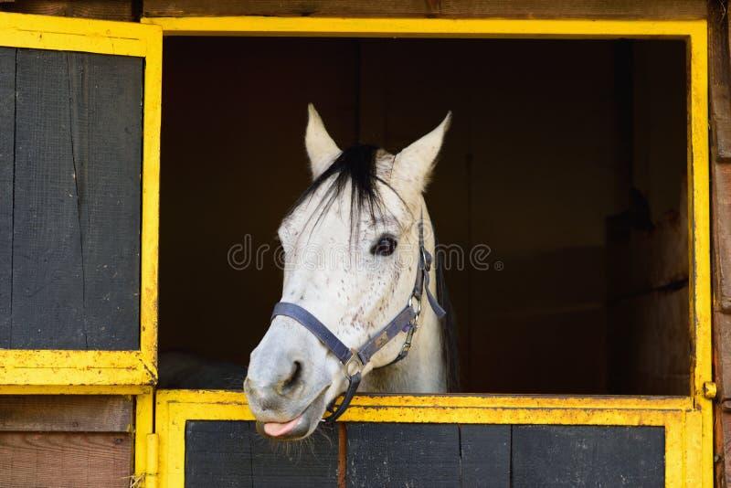 Wit Arabisch paard die zijn tong uit plakken stock afbeeldingen