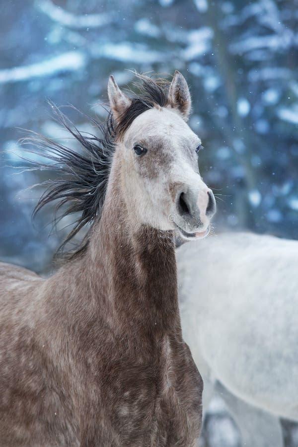 Wit Arabisch paard royalty-vrije stock afbeelding
