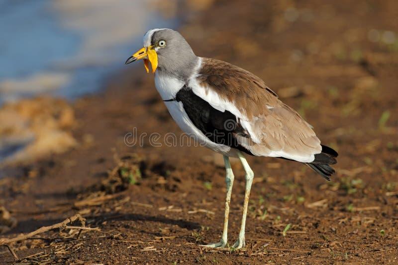 Wit-bekroonde kievit - Kruger Nationaal Park royalty-vrije stock fotografie
