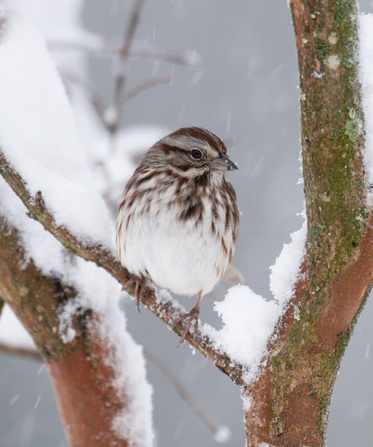 Wit-bekroonde Mus in sneeuw stock foto