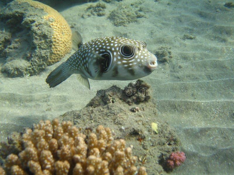 Wit-bevlekte kogelvisvissen (arothron hispidus) stock fotografie