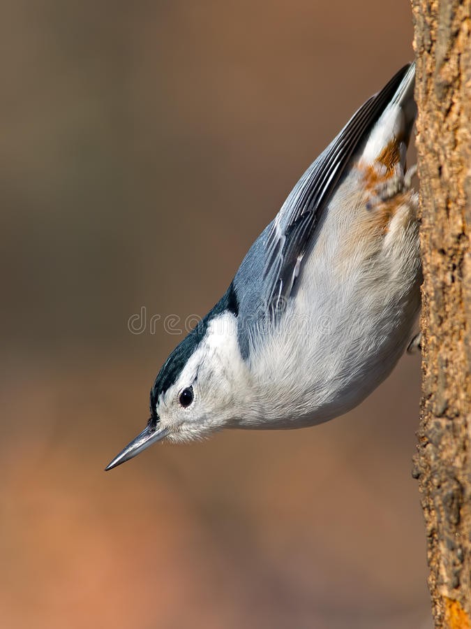 Wit-Breasted Nuthatch royalty-vrije stock foto