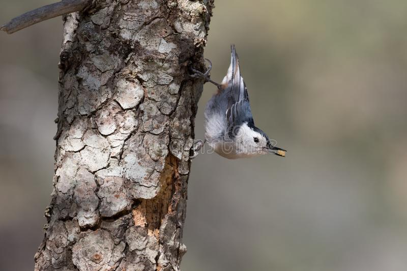 Wit-Breasted Nuthatch in Arizona stock fotografie