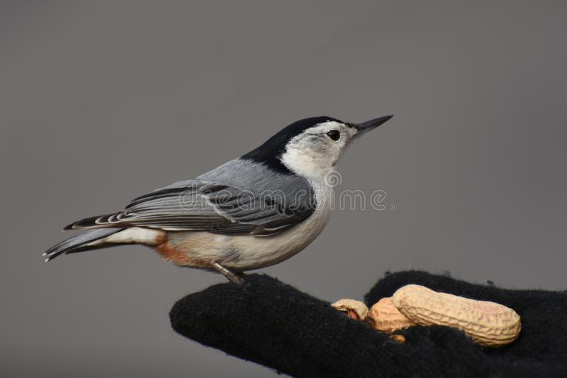 Wit-Breasted nuthatch op een gloved hand royalty-vrije stock afbeelding