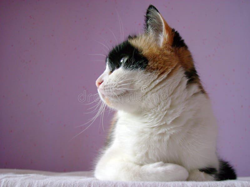 Wit-bruin-zwarte kat stock foto