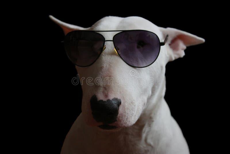 Wit Bull terrier stock afbeelding