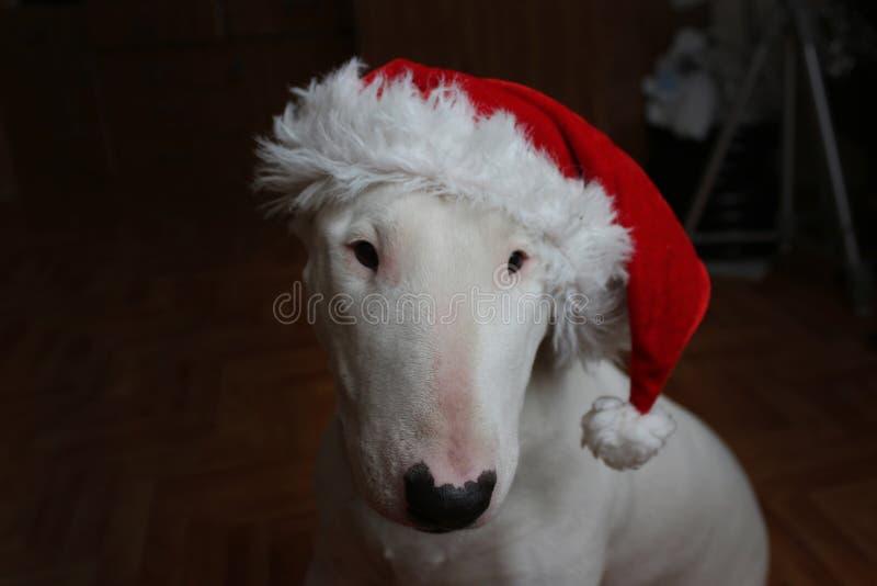 Wit Bull terrier stock fotografie
