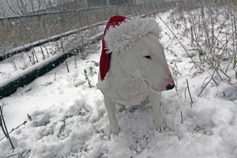 Wit Bull terrier royalty-vrije stock foto