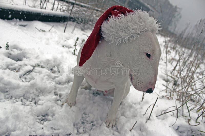 Wit Bull terrier royalty-vrije stock afbeeldingen