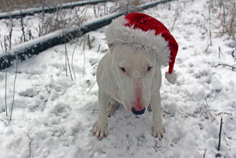 Wit Bull terrier royalty-vrije stock afbeelding