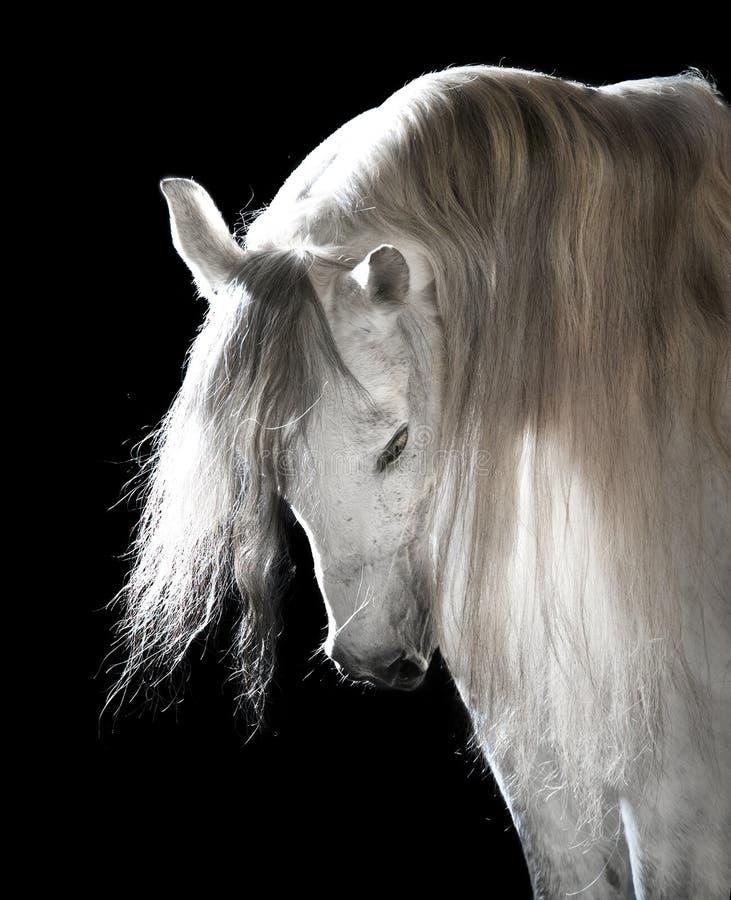 Wit $c-andalusisch paard op de donkere achtergrond stock afbeeldingen