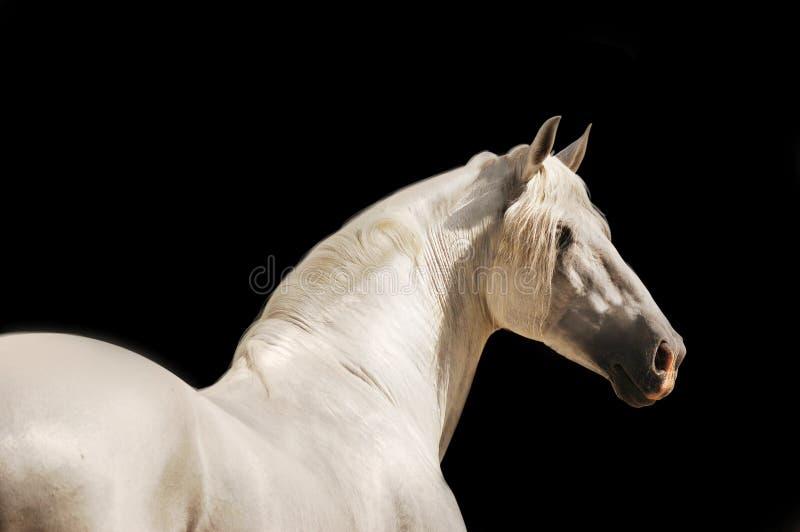 Wit $c-andalusisch paard op zwarte stock afbeeldingen