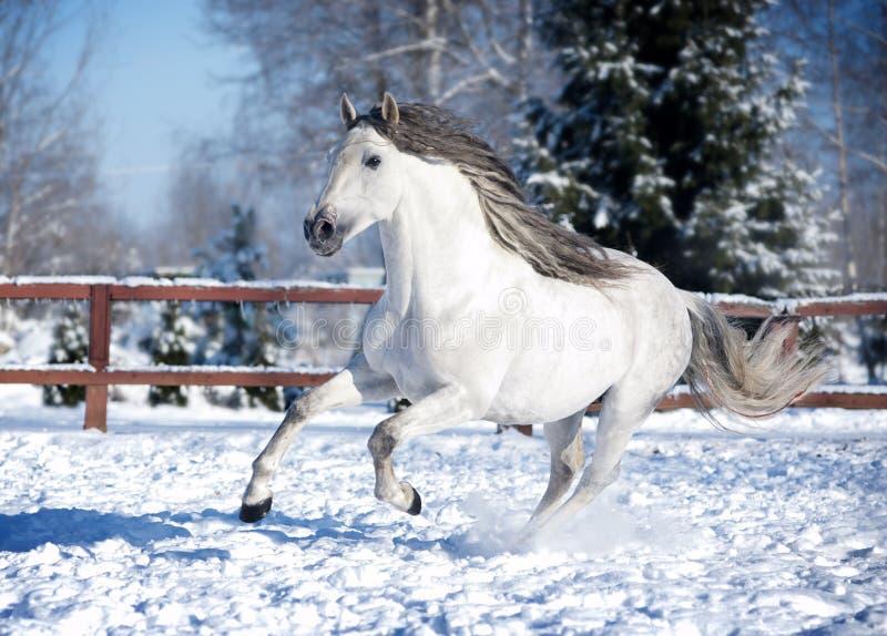 Wit $c-andalusisch paard in paddock stock afbeeldingen